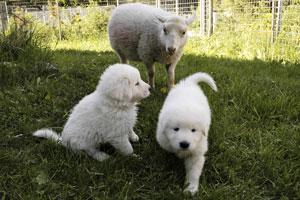 Nuoret lammasvahdit